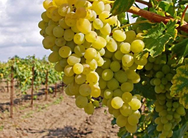 виноград италия мускат