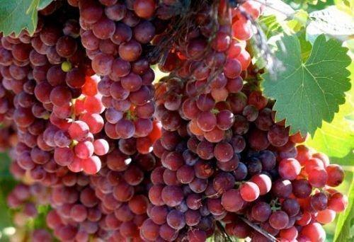 виноград мускат красный