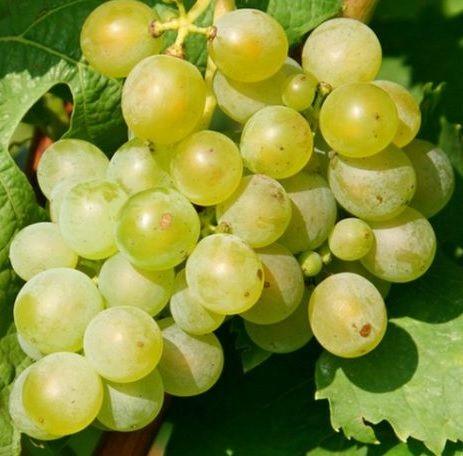 виноград мускат шатилова