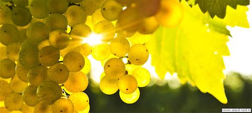 виноград мускат золотистый