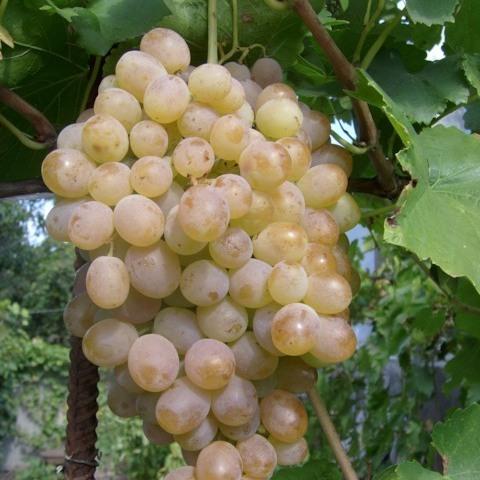 виноград мускат голодриги