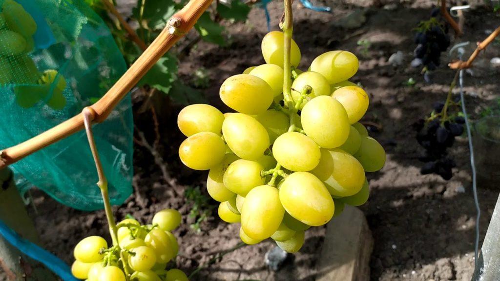 виноград мускат дубовский