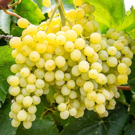 виноград мускат кишмиш