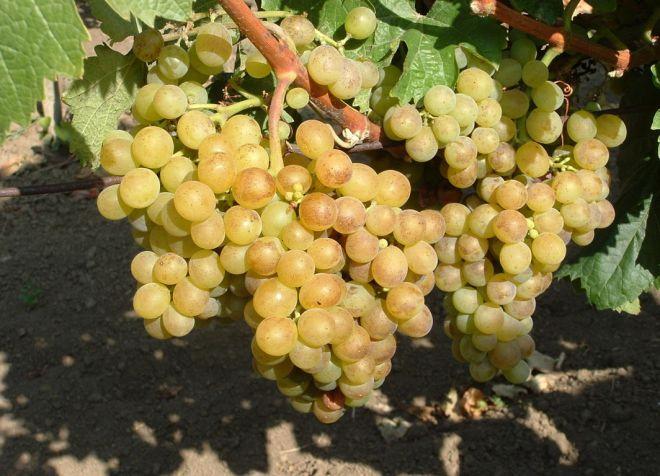 виноград мускат александрийский