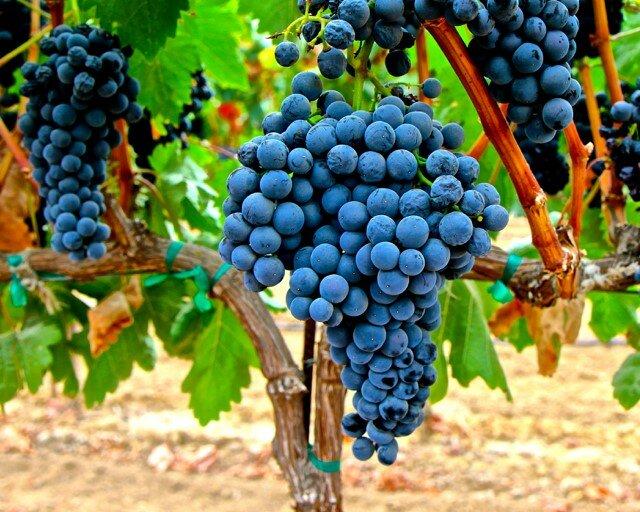 Виноград Темпранильо